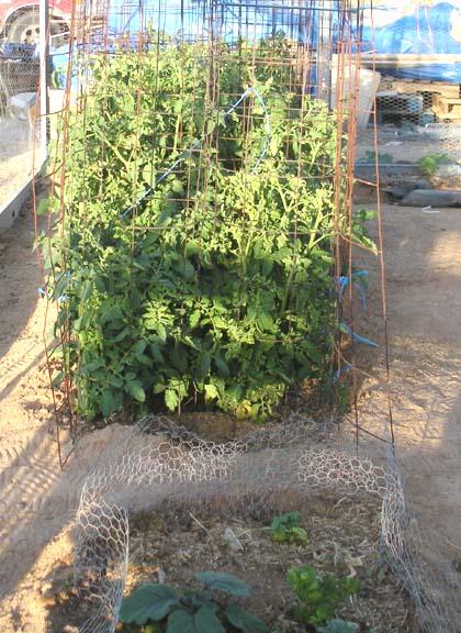 Tomato Plants Under Control