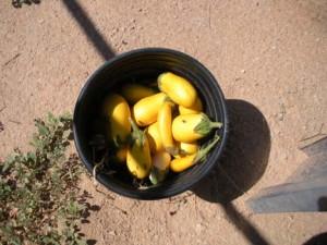 Yellowed Eggplant